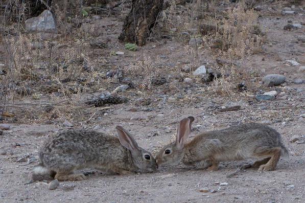 Desert Cottontail Rabbits playing; SE of San Manuel, AZ