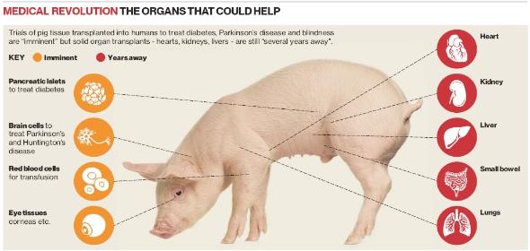 Pig Organs
